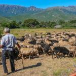 Schafherde mit Hirt auf dem Cap Corse